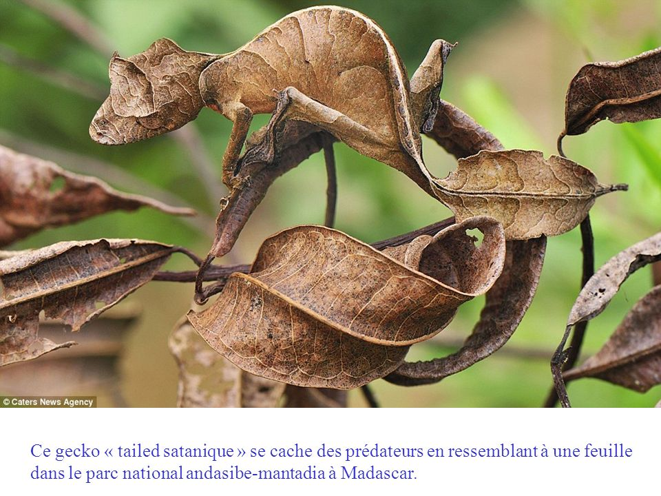 Ce gecko « tailed satanique » se cache des prédateurs en ressemblant à une feuille dans le parc national andasibe-mantadia à Madascar.