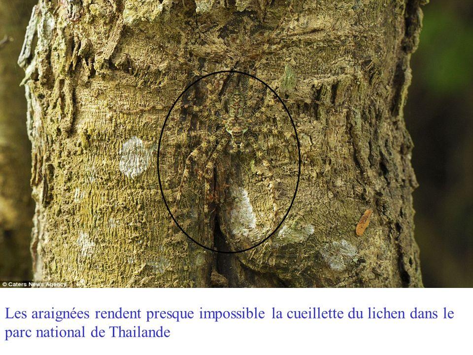 Les araignées rendent presque impossible la cueillette du lichen dans le parc national de Thailande