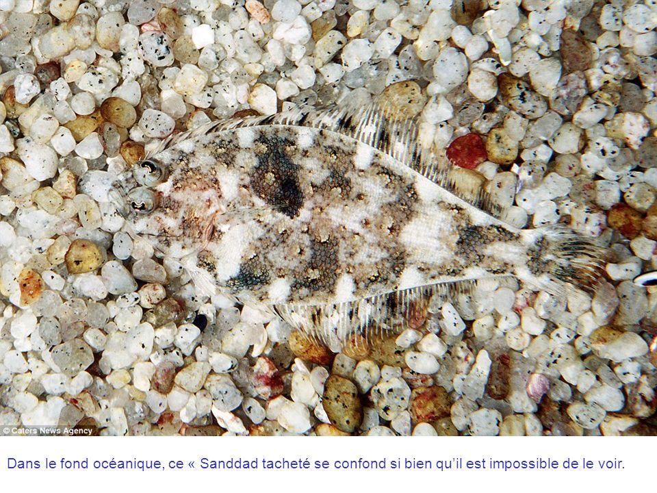 Dans le fond océanique, ce « Sanddad tacheté se confond si bien qu'il est impossible de le voir.