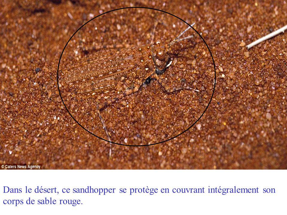 Dans le désert, ce sandhopper se protège en couvrant intégralement son corps de sable rouge.