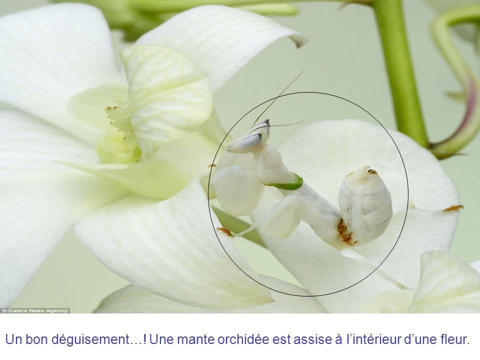 Un bon déguisement…! Une mante orchidée est assise à l'intérieur d'une fleur.