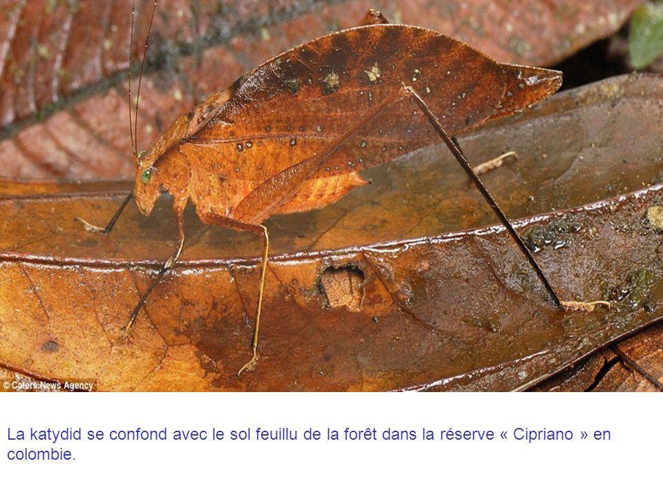 La katydid se confond avec le sol feuillu de la forêt dans la réserve « Cipriano » en colombie.