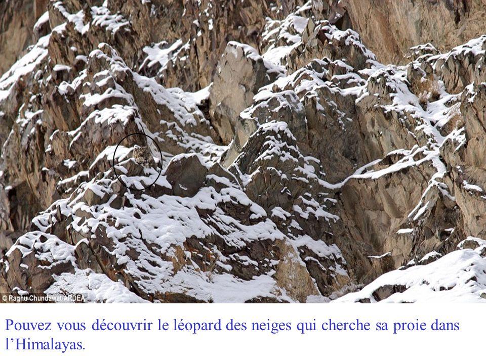 Pouvez vous découvrir le léopard des neiges qui cherche sa proie dans l'Himalayas.