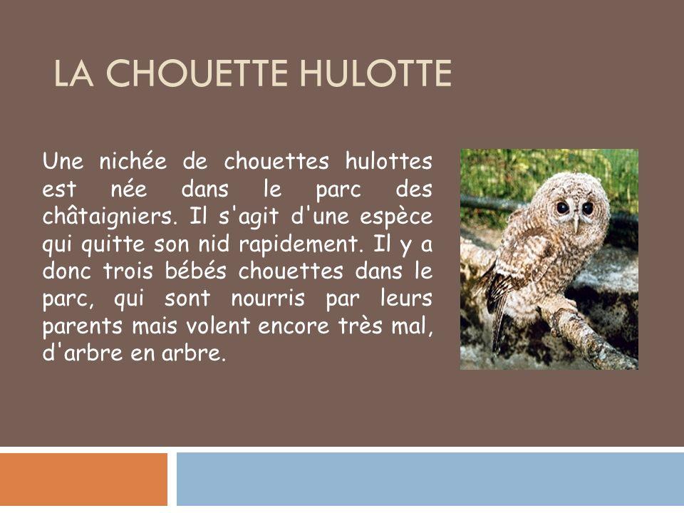 La Chouette Hulotte