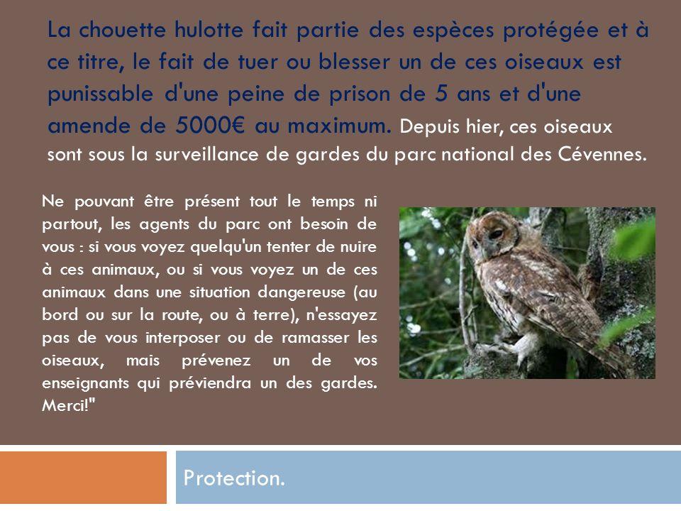 La chouette hulotte fait partie des espèces protégée et à ce titre, le fait de tuer ou blesser un de ces oiseaux est punissable d une peine de prison de 5 ans et d une amende de 5000€ au maximum. Depuis hier, ces oiseaux sont sous la surveillance de gardes du parc national des Cévennes.