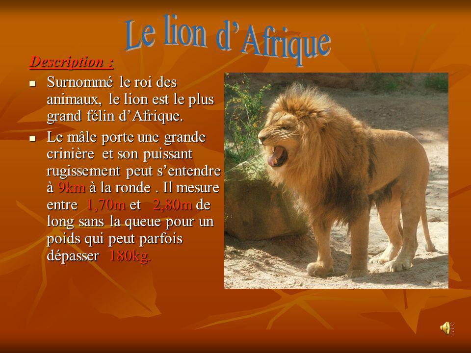Le lion d'Afrique Description :