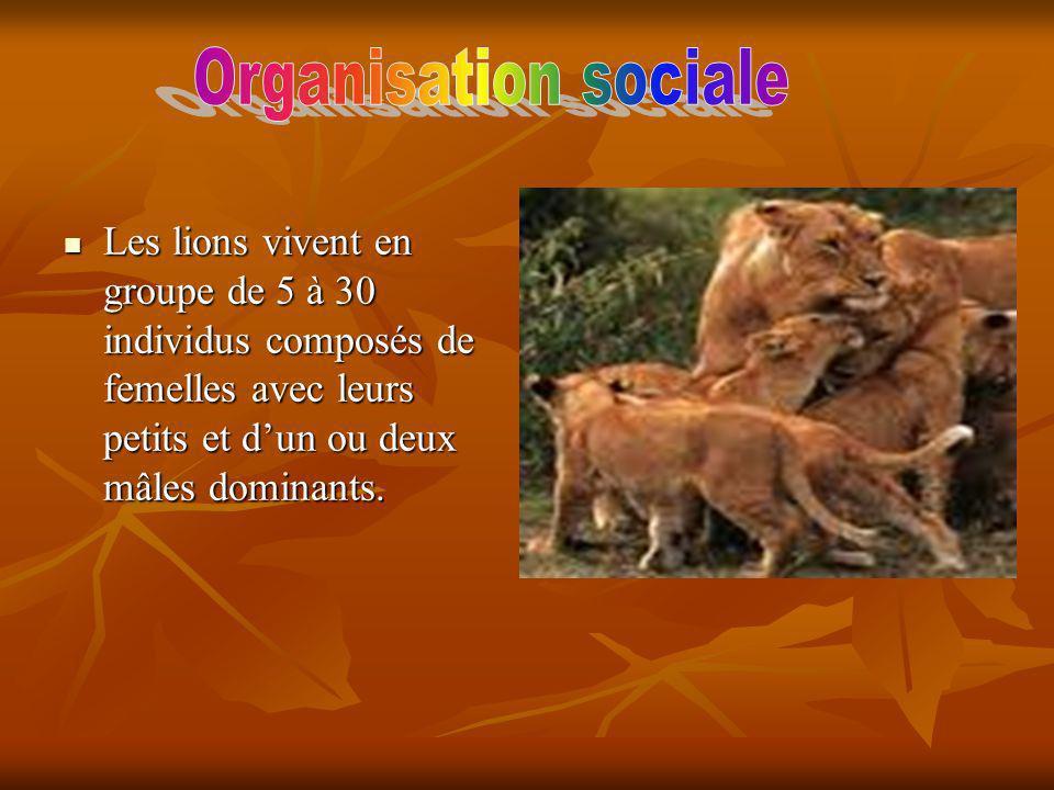Organisation sociale Les lions vivent en groupe de 5 à 30 individus composés de femelles avec leurs petits et d'un ou deux mâles dominants.