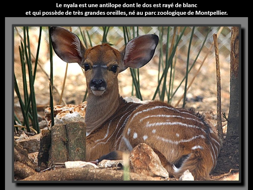 Le nyala est une antilope dont le dos est rayé de blanc