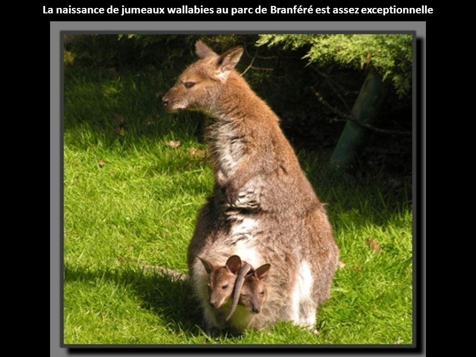 La naissance de jumeaux wallabies au parc de Branféré est assez exceptionnelle