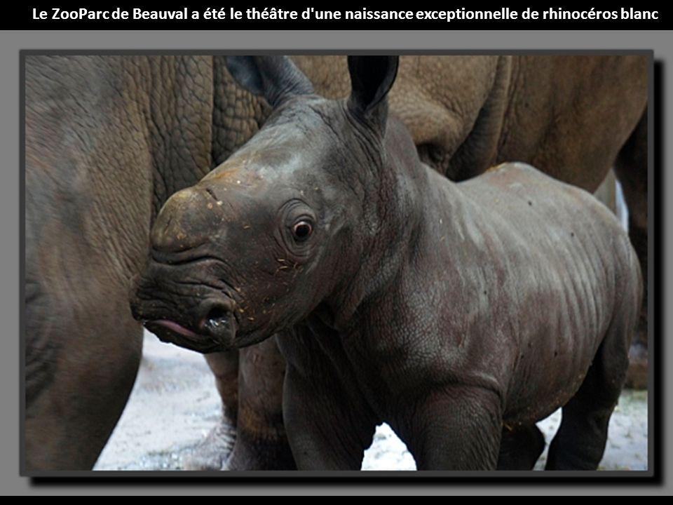 Le ZooParc de Beauval a été le théâtre d une naissance exceptionnelle de rhinocéros blanc
