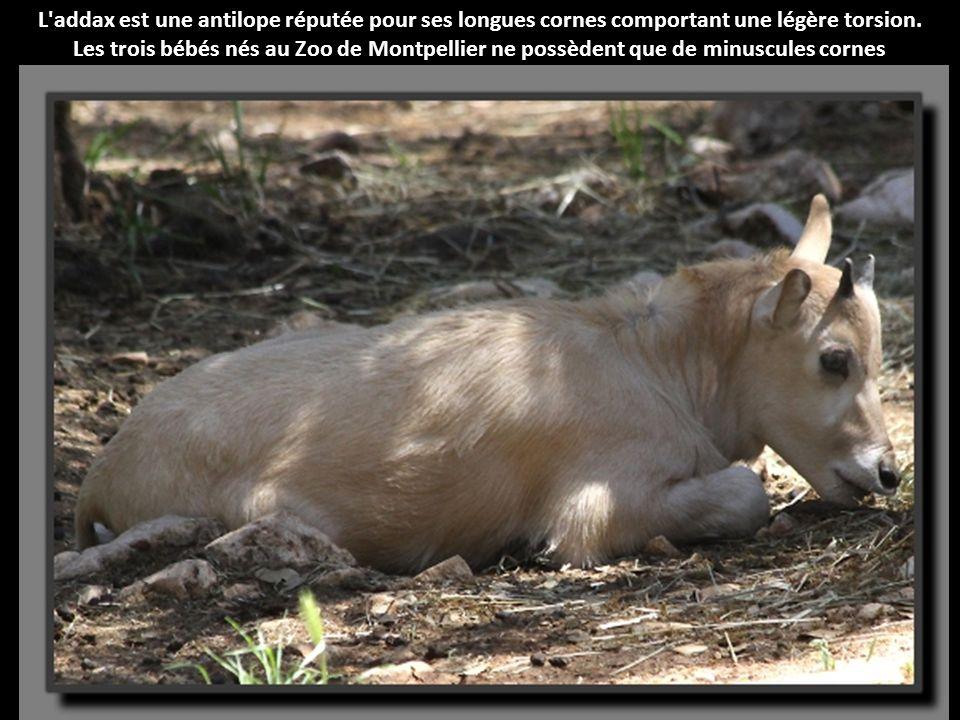 L addax est une antilope réputée pour ses longues cornes comportant une légère torsion.
