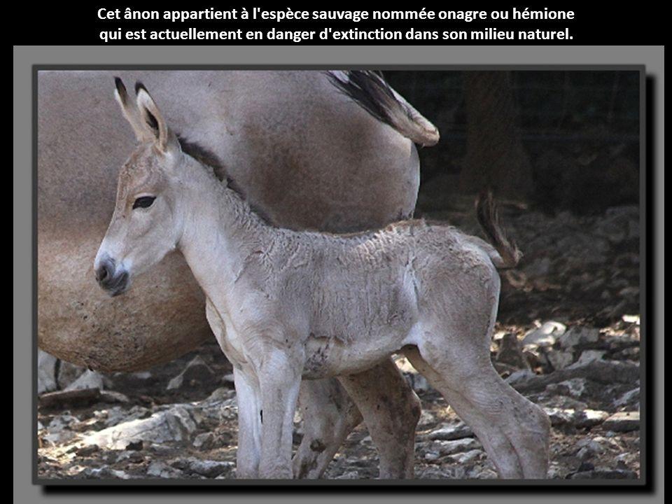 Cet ânon appartient à l espèce sauvage nommée onagre ou hémione