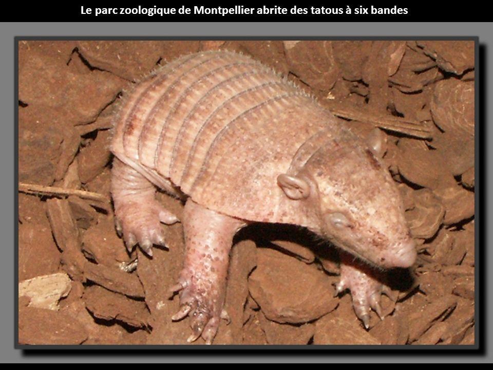 Le parc zoologique de Montpellier abrite des tatous à six bandes
