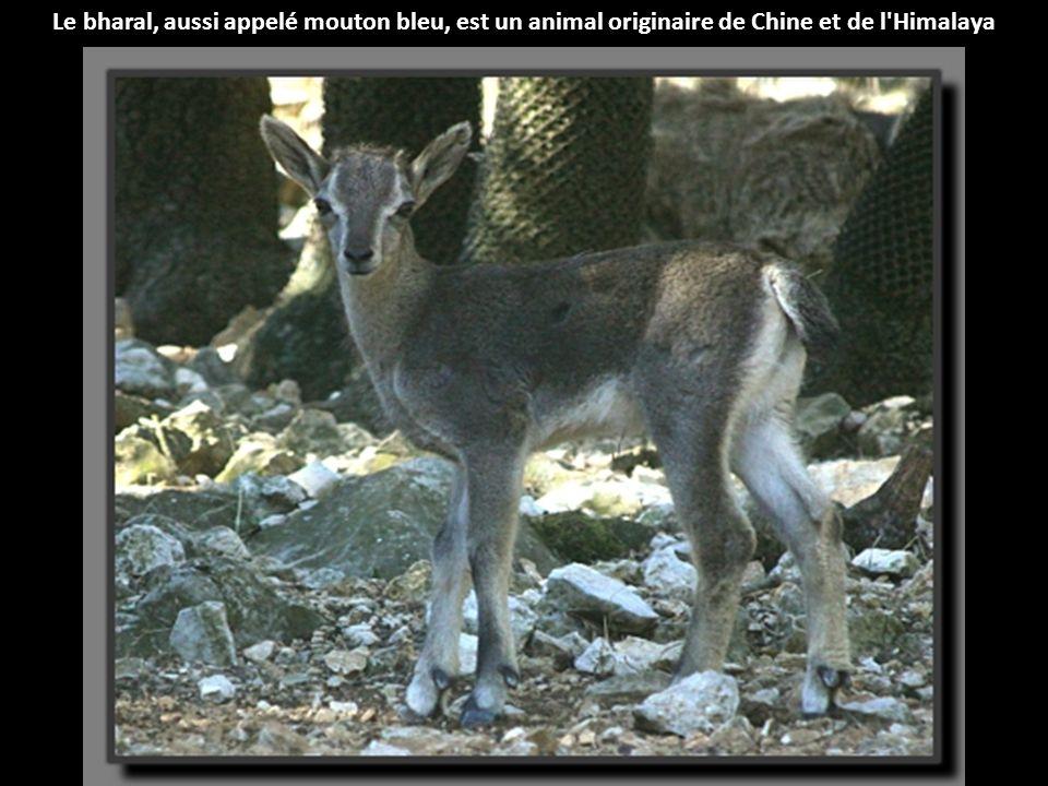 Le bharal, aussi appelé mouton bleu, est un animal originaire de Chine et de l Himalaya