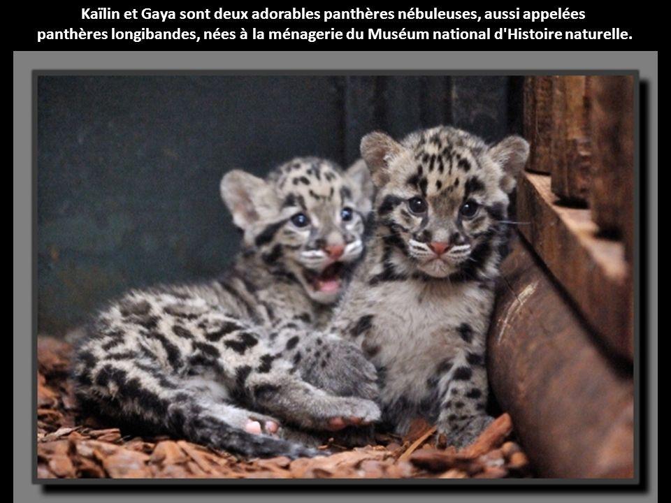 Kaïlin et Gaya sont deux adorables panthères nébuleuses, aussi appelées