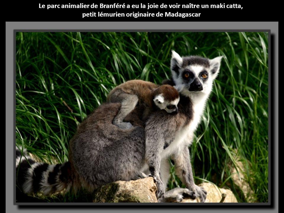 petit lémurien originaire de Madagascar
