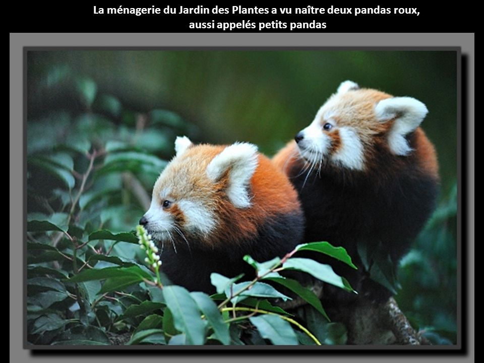 La ménagerie du Jardin des Plantes a vu naître deux pandas roux,