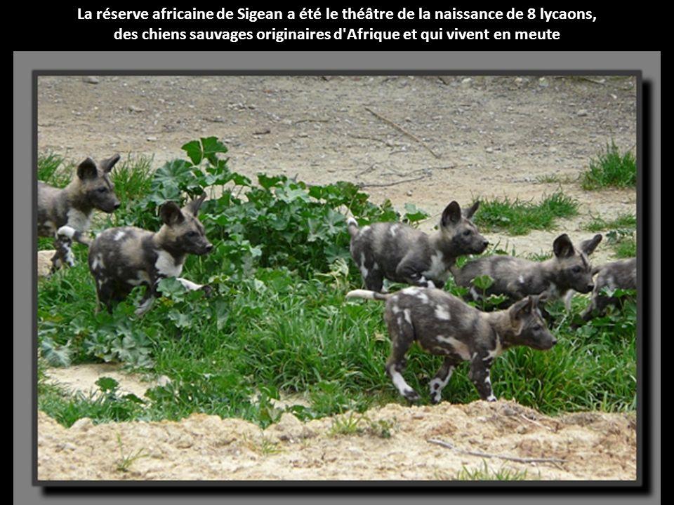 des chiens sauvages originaires d Afrique et qui vivent en meute