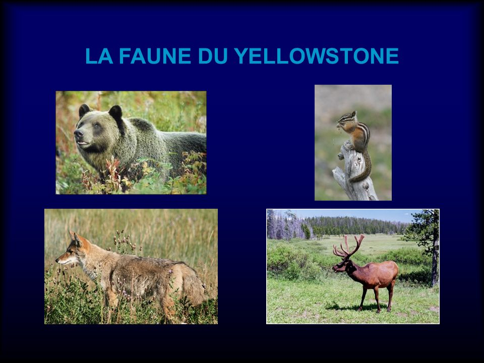 LA FAUNE DU YELLOWSTONE