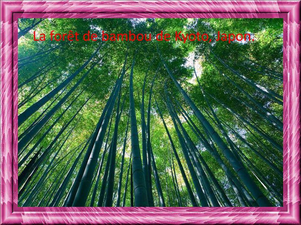 La forêt de bambou de Kyoto, Japon.