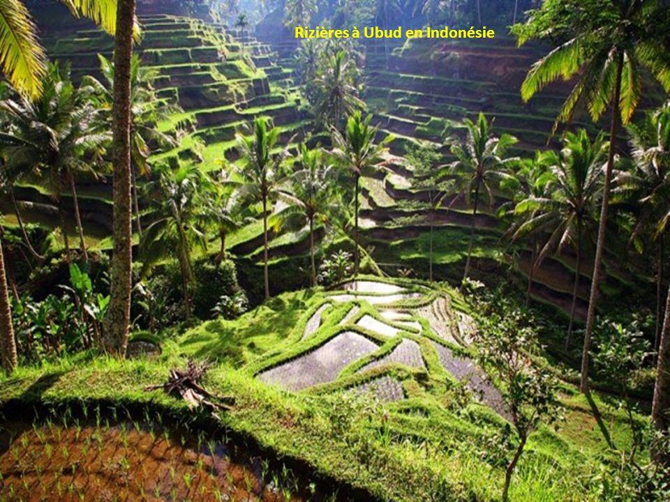Rizières à Ubud en Indonésie