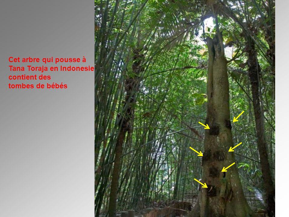 Cet arbre qui pousse à Tana Toraja en Indonesie contient des tombes de bébés