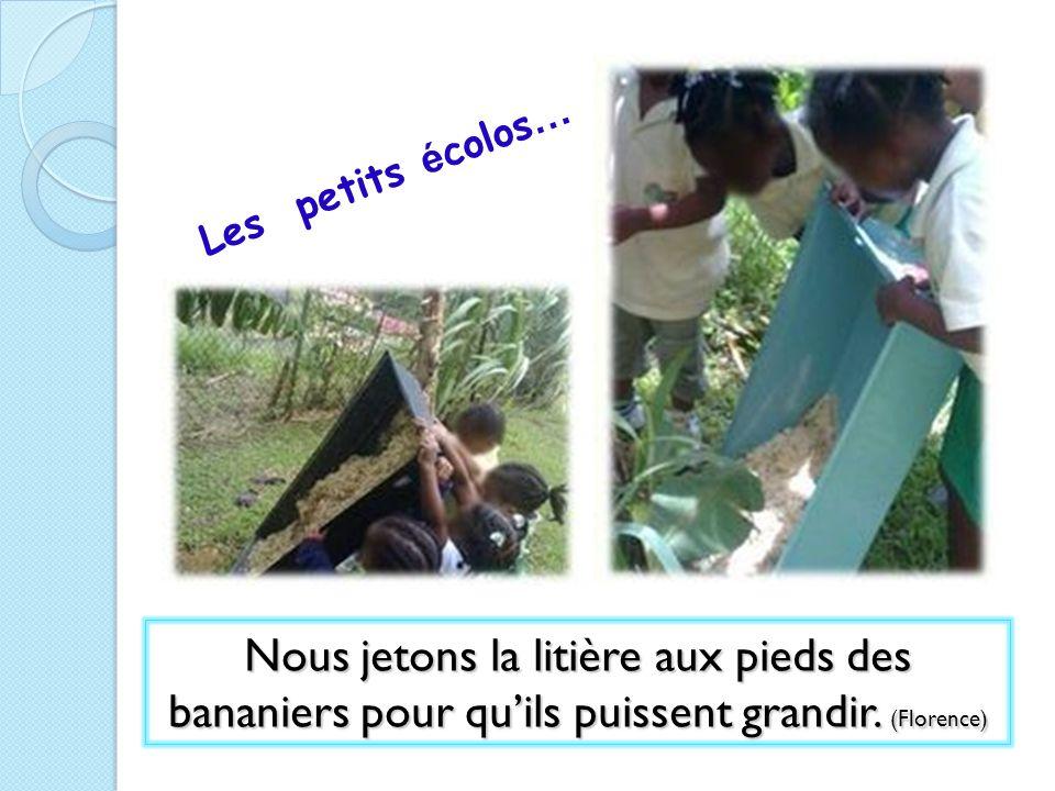 Les petits écolos… Nous jetons la litière aux pieds des bananiers pour qu'ils puissent grandir.