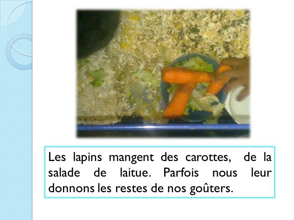 Les lapins mangent des carottes, de la salade de laitue