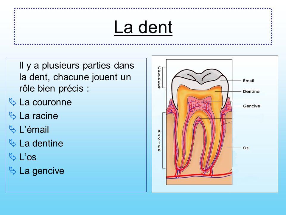 La dent Il y a plusieurs parties dans la dent, chacune jouent un rôle bien précis : La couronne. La racine.
