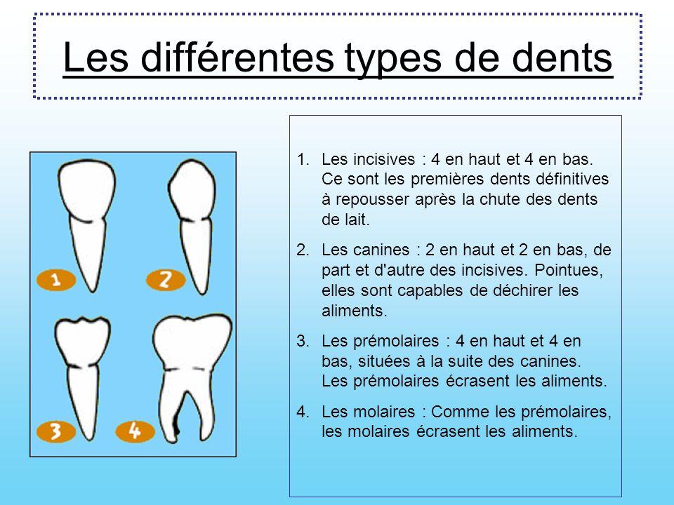 Les différentes types de dents