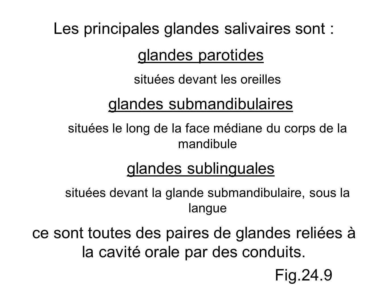 Les principales glandes salivaires sont : glandes parotides