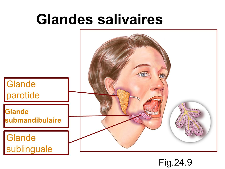 Glandes salivaires Glande parotide Glande sublinguale Fig.24.9