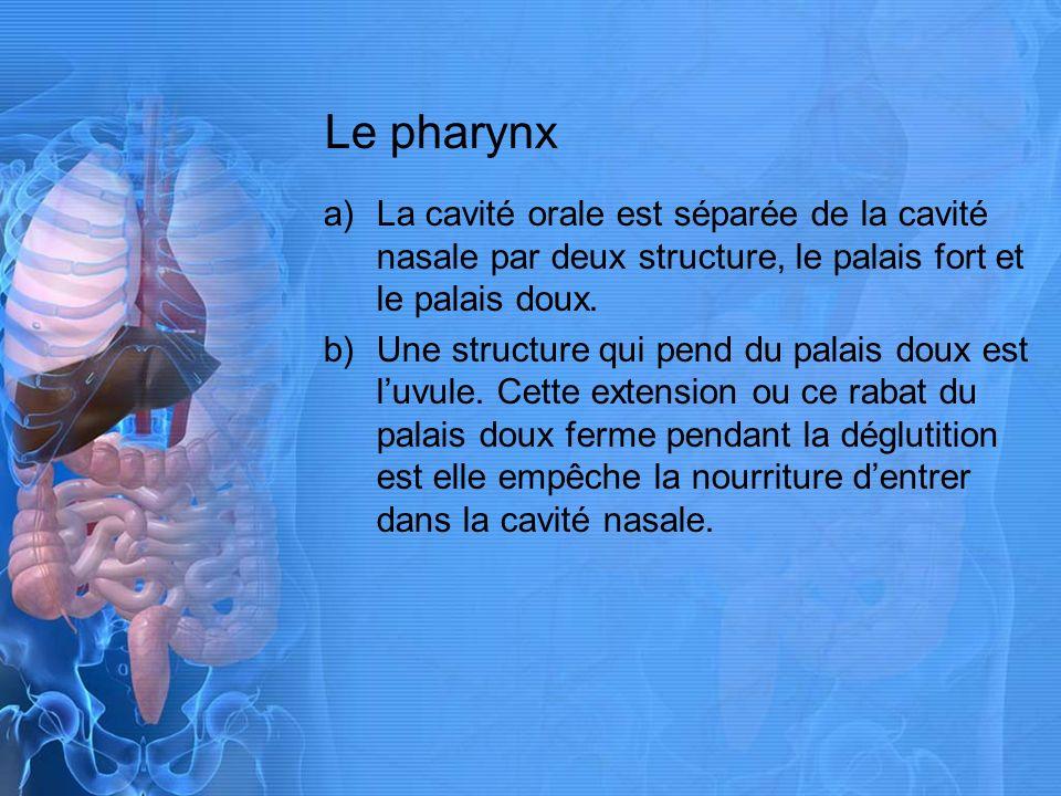 Le pharynx La cavité orale est séparée de la cavité nasale par deux structure, le palais fort et le palais doux.