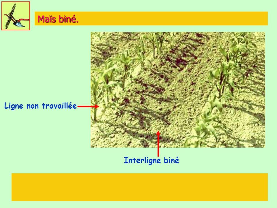 Maïs biné. Ligne non travaillée Interligne biné