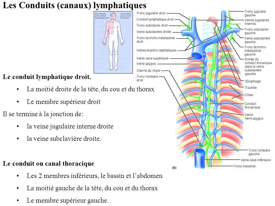 Les Conduits (canaux) lymphatiques