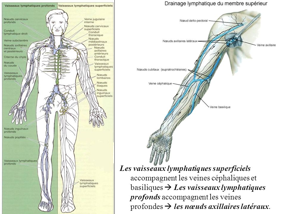Les vaisseaux lymphatiques superficiels accompagnent les veines céphaliques et basiliques  Les vaisseaux lymphatiques profonds accompagnent les veines profondes  les nœuds axillaires latéraux.