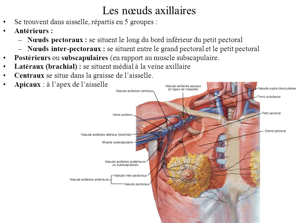 Les nœuds axillaires Se trouvent dans aisselle, répartis en 5 groupes : Antérieurs :