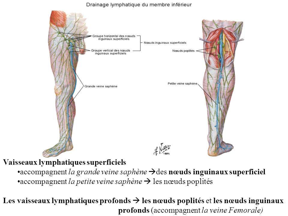Vaisseaux lymphatiques superficiels