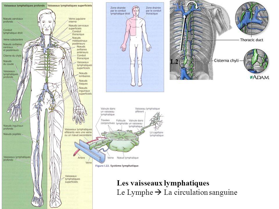 Les vaisseaux lymphatiques Le Lymphe  La circulation sanguine