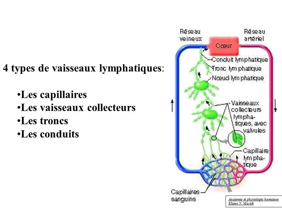 4 types de vaisseaux lymphatiques: Les capillaires