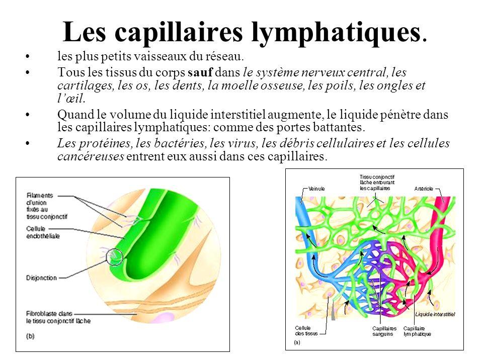 Les capillaires lymphatiques.