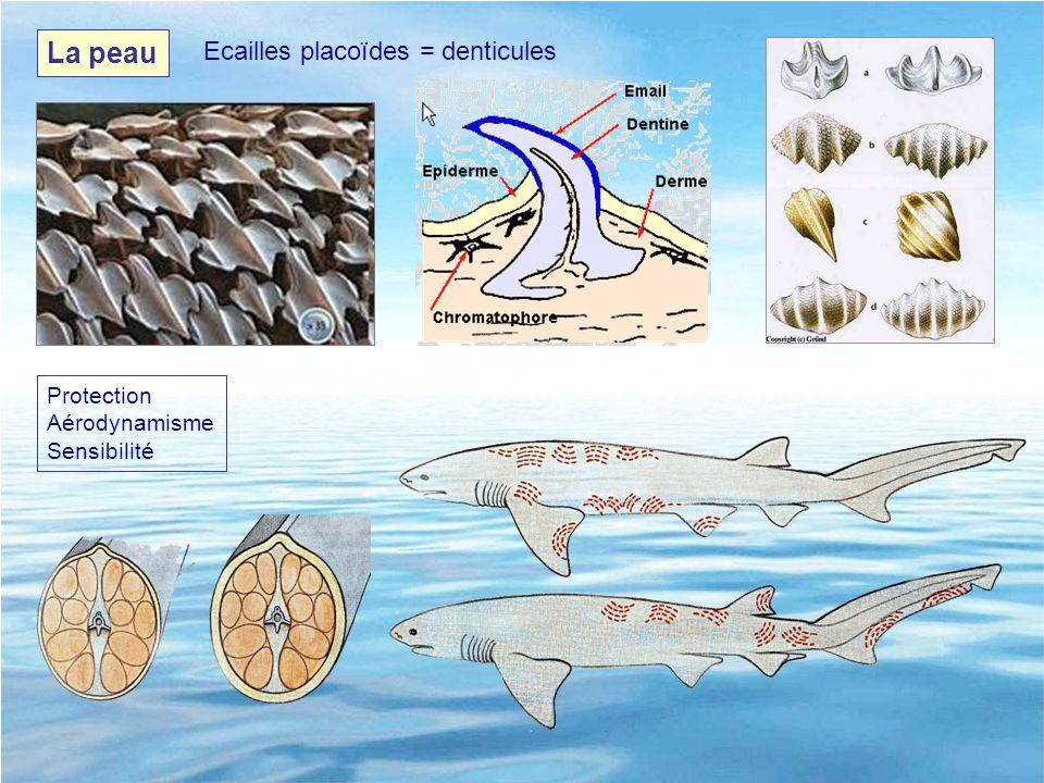La peau Ecailles placoïdes = denticules Protection Aérodynamisme