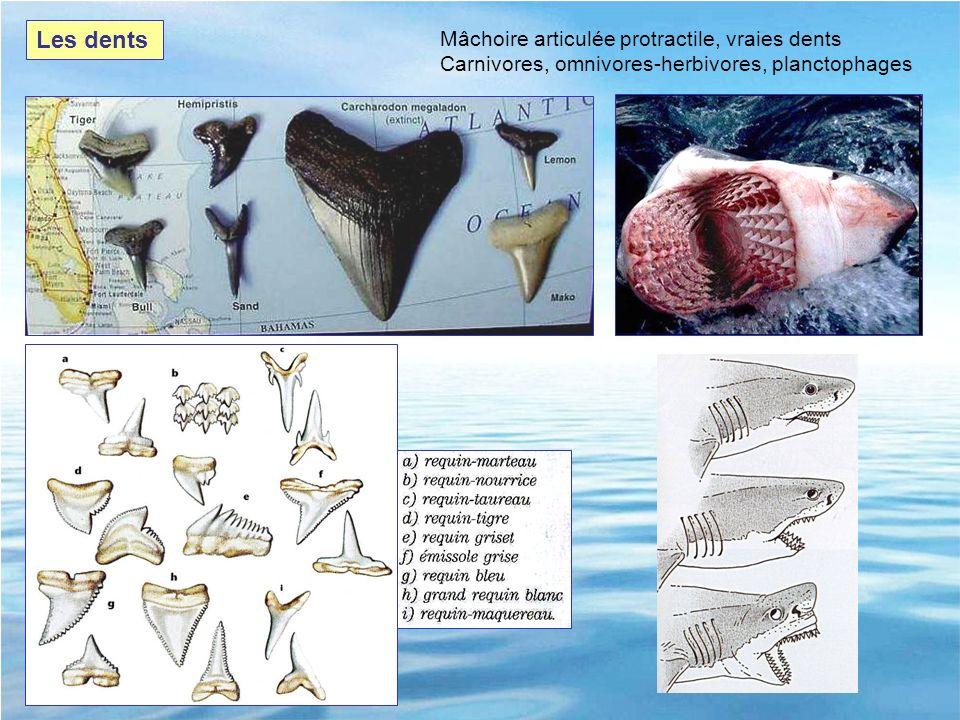 Les dents Mâchoire articulée protractile, vraies dents