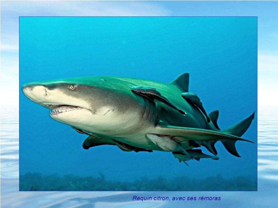 Requin citron, avec ses rémoras