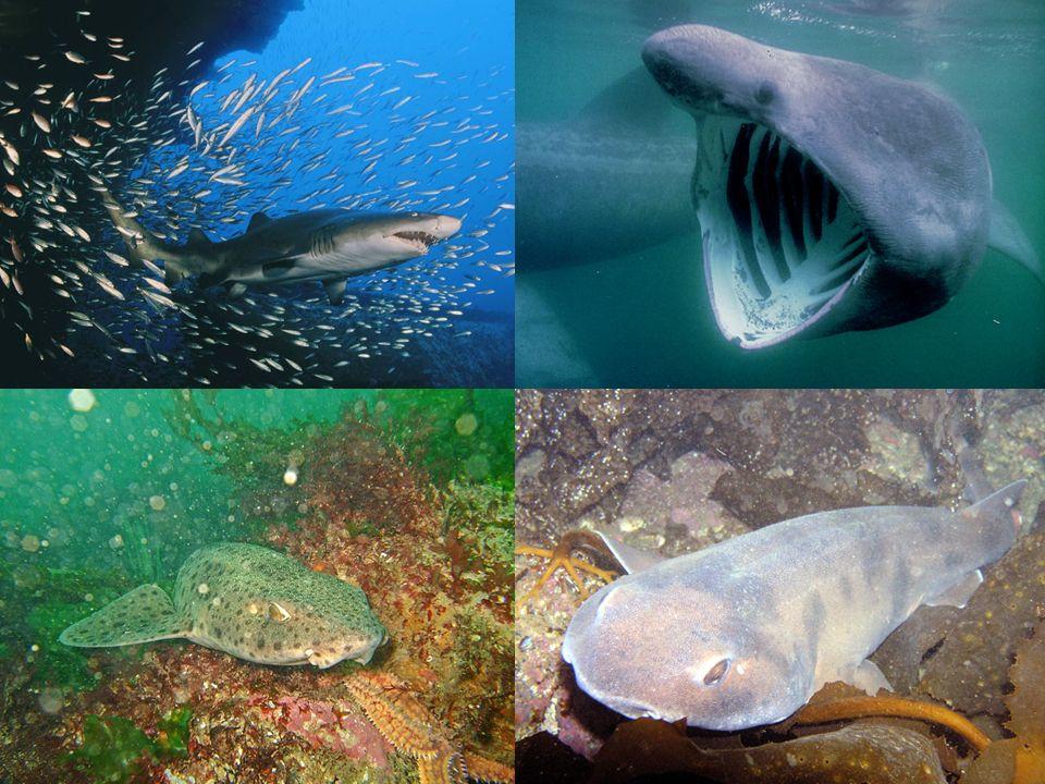 requin taureau Requin pelerin Roussette Carpette