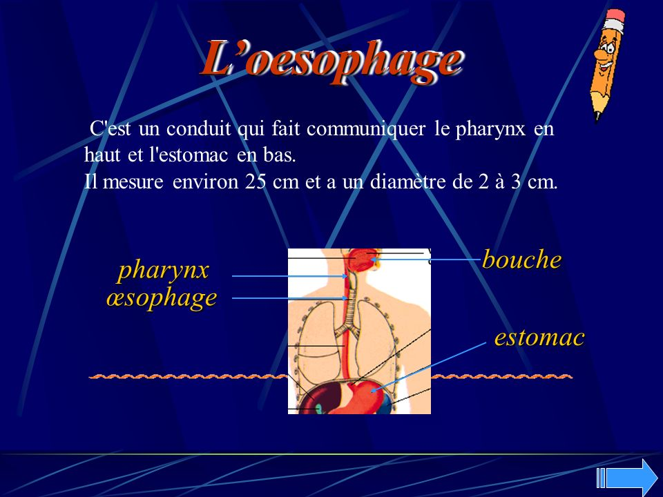 L'oesophage bouche pharynx œsophage estomac