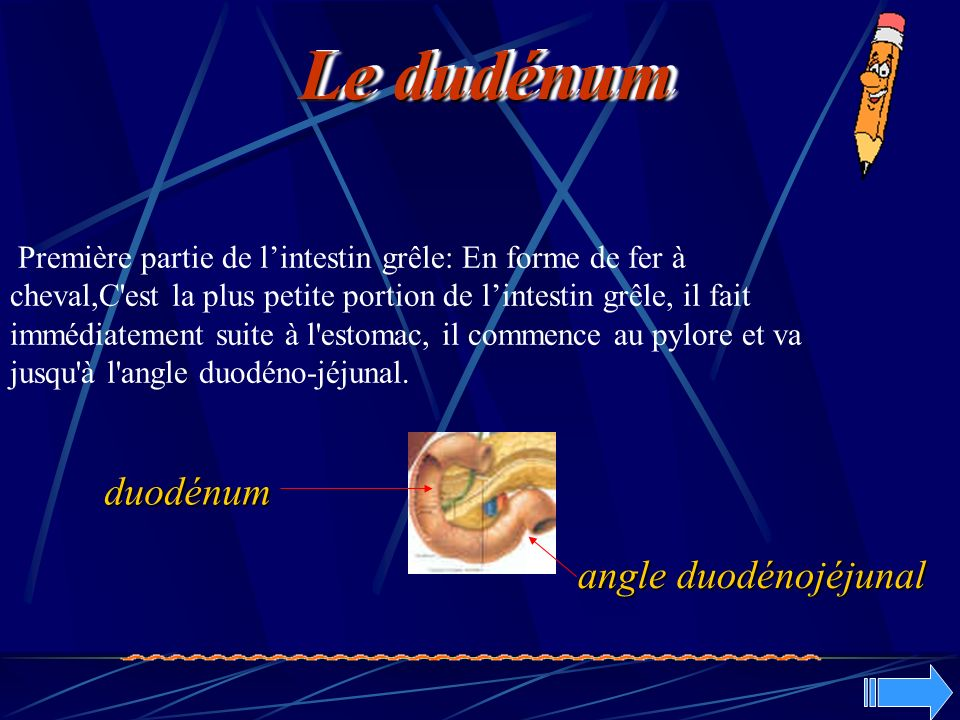 Le dudénum duodénum angle duodénojéjunal