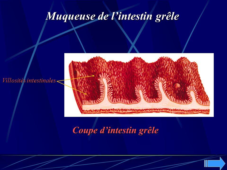Muqueuse de l'intestin grêle