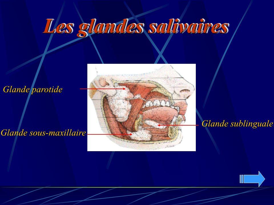 Les glandes salivaires