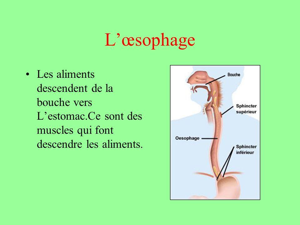 L'œsophage Les aliments descendent de la bouche vers L'estomac.Ce sont des muscles qui font descendre les aliments.